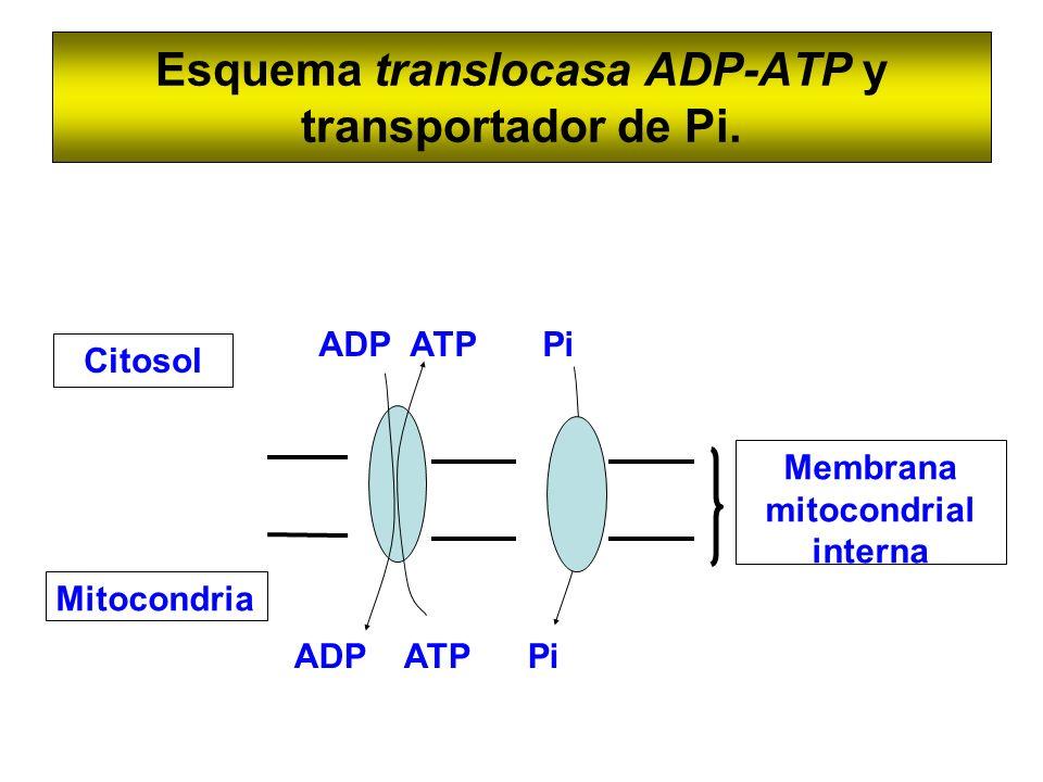 Esquema translocasa ADP-ATP y transportador de Pi. Mitocondria Citosol Membrana mitocondrial interna ADP ATP Pi