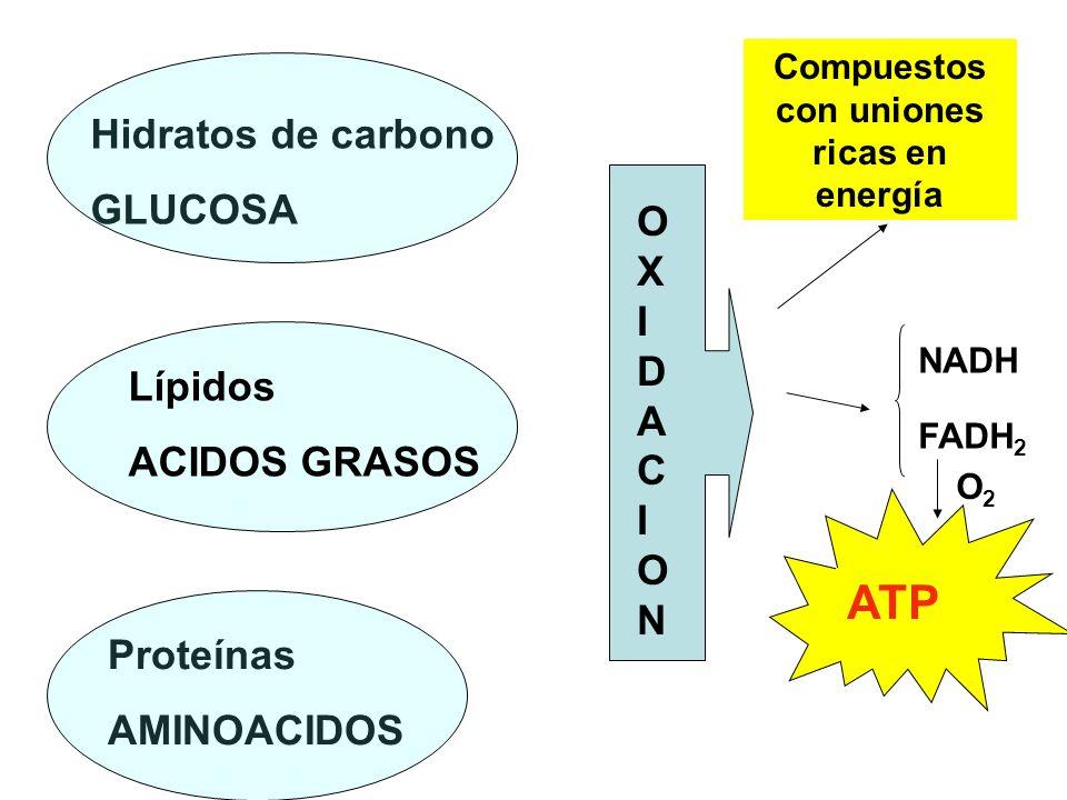Desde el punto de vista químico OXIDACIÓN Ganancia de oxígeno Pérdida de electrones Pérdida de hidrógeno REDUCCIÓN Pérdida de oxígeno Ganancia de electrones Ganancia de hidrógeno (en compuestos orgánicos) El uso principal del OXÍGENO es en la RESPIRACIÓN Y ESTE ES EL PROCESO POR EL CUAL LAS CÉLULAS OBTIENEN ENERGÍA EN FORMA DE ATP Este principio de OXIDO- REDUCCIÓN se aplica a los sistemas bioquímicos y es un concepto importante para la comprensión de la naturaleza de las oxidaciones biológicas.