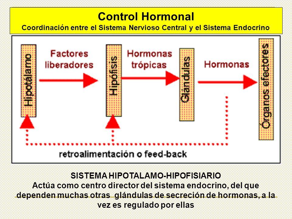 Control Hormonal Coordinación entre el Sistema Nervioso Central y el Sistema Endocrino SISTEMA HIPOTALAMO-HIPOFISIARIO Actúa como centro director del