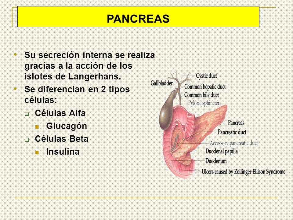 PANCREAS Su secreción interna se realiza gracias a la acción de los islotes de Langerhans. Se diferencian en 2 tipos células: Células Alfa Glucagón Cé