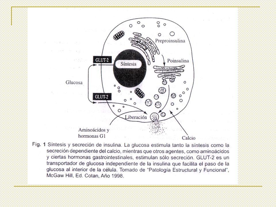 INSULINA: ACCIONES DE LA PKB (activa) Favorece la translocación de los receptores de glucosa GLUT4.