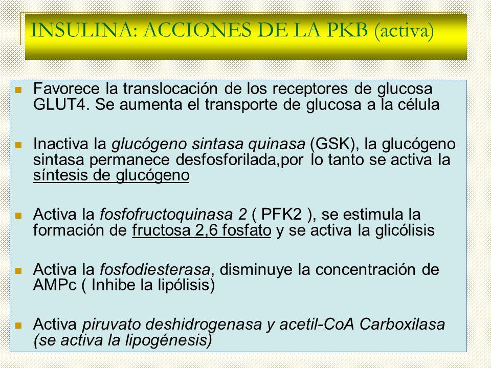 INSULINA: ACCIONES DE LA PKB (activa) Favorece la translocación de los receptores de glucosa GLUT4. Se aumenta el transporte de glucosa a la célula In