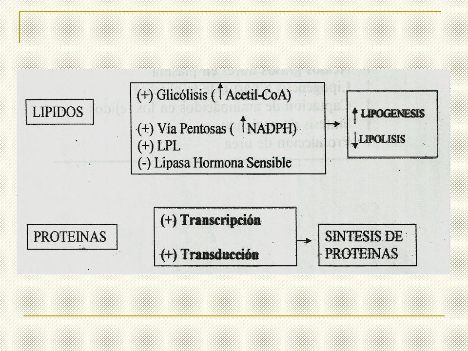 GLUCAGON Se sintetiza en las células del páncreas Es una hormona endocrina de naturaleza peptídica.