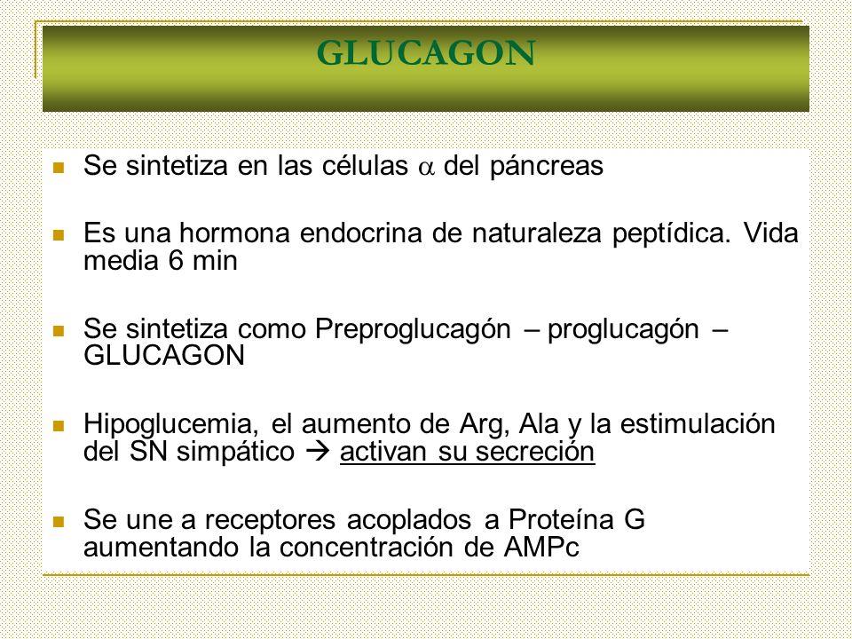 GLUCAGON Se sintetiza en las células del páncreas Es una hormona endocrina de naturaleza peptídica. Vida media 6 min Se sintetiza como Preproglucagón