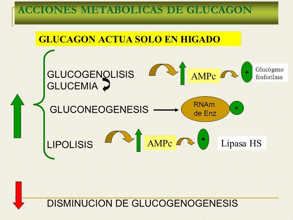 ACCIONES METABOLICAS DE GLUCAGON GLUCOGENOLISIS GLUCEMIA GLUCONEOGENESIS LIPOLISIS DISMINUCION DE GLUCOGENOGENESIS AMPc + Glucógeno fosforilasa Lipasa