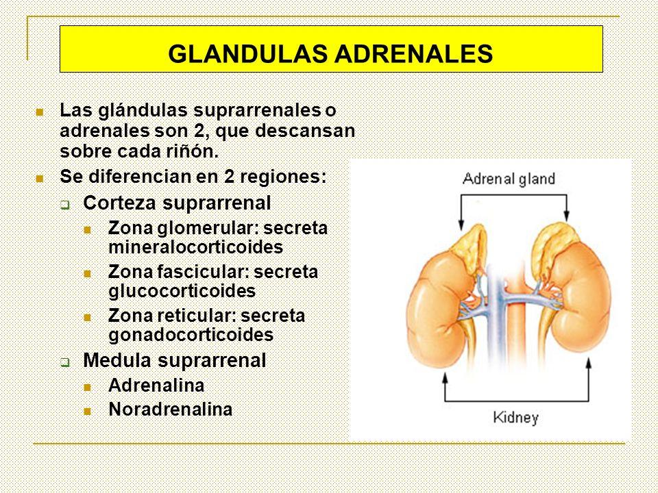 GLANDULAS ADRENALES Las glándulas suprarrenales o adrenales son 2, que descansan sobre cada riñón. Se diferencian en 2 regiones: Corteza suprarrenal Z