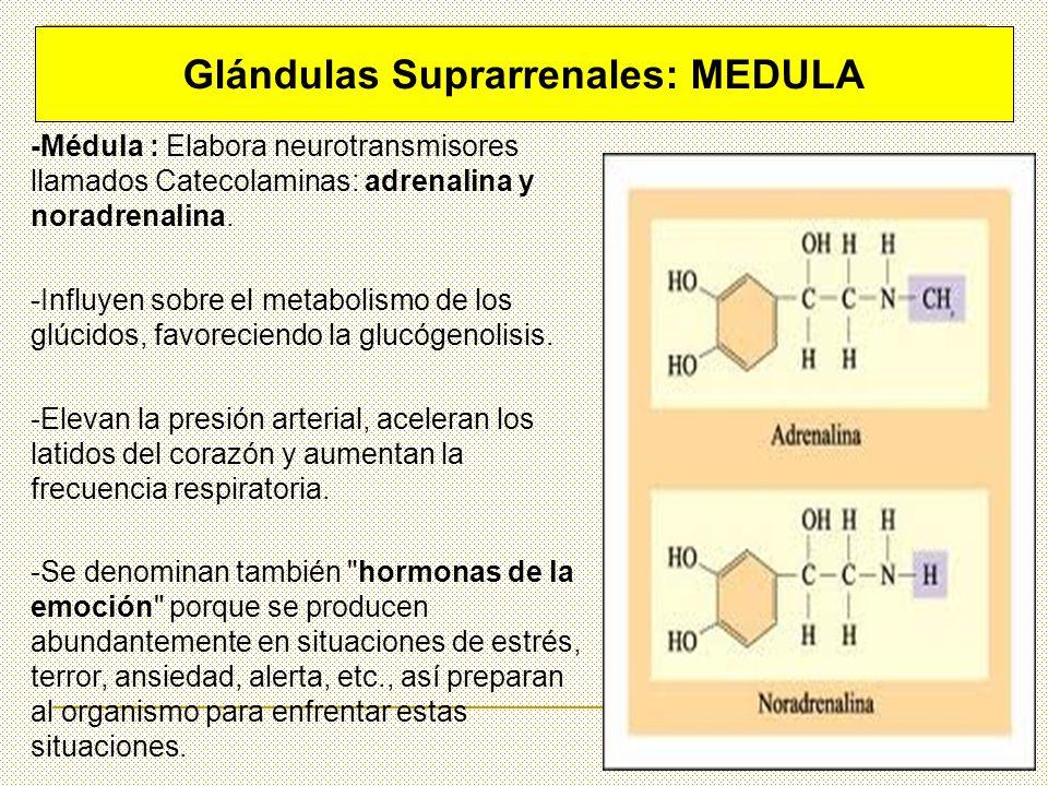 -Médula : Elabora neurotransmisores llamados Catecolaminas: adrenalina y noradrenalina. -Influyen sobre el metabolismo de los glúcidos, favoreciendo l