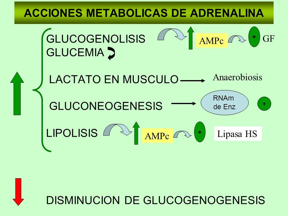 ACCIONES METABOLICAS DE ADRENALINA GLUCOGENOLISIS GLUCEMIA LACTATO EN MUSCULO GLUCONEOGENESIS LIPOLISIS DISMINUCION DE GLUCOGENOGENESIS AMPc + GF Anae