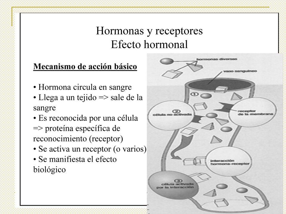 CLASIFICACIÓN de acuerdo a su naturaleza química ESTEROIDEAS Hidrofóbicas, circulan unidas a proteínas transportadoras, poca hormona libre, vida media 30 a 100 minutos POLIPEPTÍDICAS Hidrosolubles, mucha hormona libre, vida media 10 a 30 minutos DERIVADAS DE AMINOÁCIDOS O AMÍNICAS Hidrosolubles, circulan unidas a proteínas transportadoras o libres, vida media variable DERIVADAS DE ÁCIDOS GRASOS FACTORES DE CRECIMIENTO se los consideran hormonas.