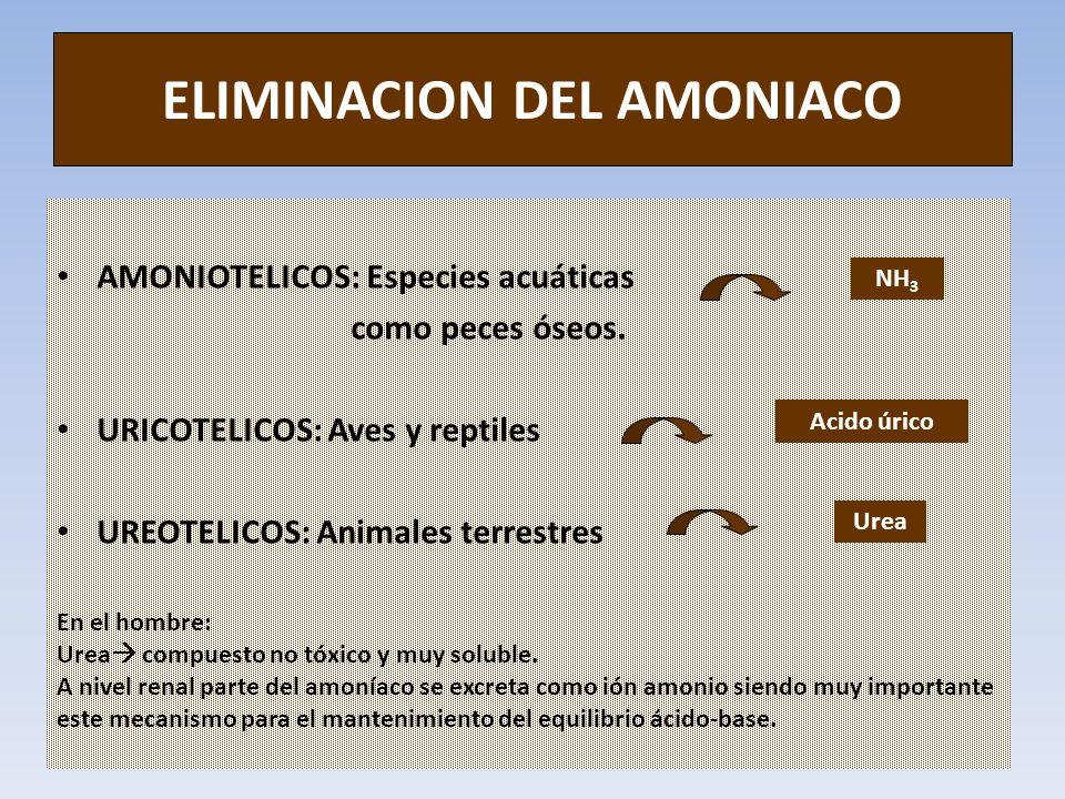 ELIMINACION DEL AMONIACO AMONIOTELICOS: Especies acuáticas como peces óseos. URICOTELICOS: Aves y reptiles UREOTELICOS: Animales terrestres NH 3 Acido