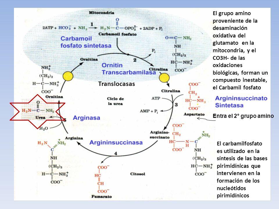El carbamilfosfato es utilizado en la síntesis de las bases pirimidínicas que intervienen en la formación de los nucleótidos pirimidínicos El grupo am