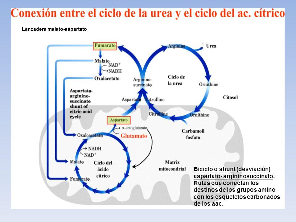 Biciclo o shunt (desviación) aspartato- argininosuccinato. Rutas que conectan los destinos de los grupos amino con los esqueletos carbonados de los aa
