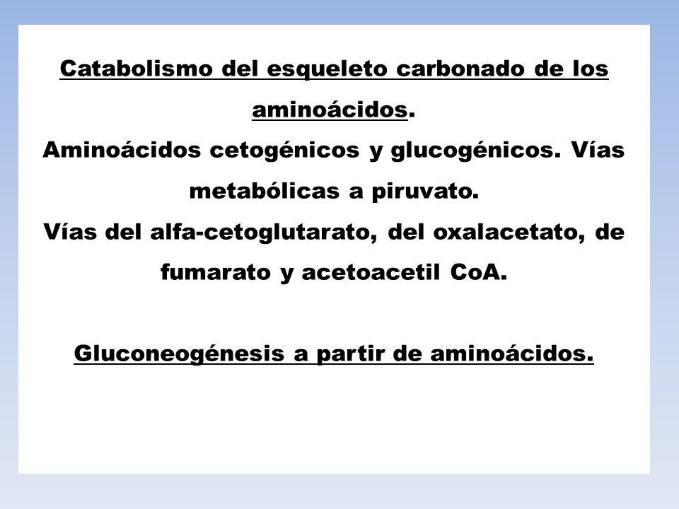 Catabolismo del esqueleto carbonado de los aminoácidos. Aminoácidos cetogénicos y glucogénicos. Vías metabólicas a piruvato. Vías del alfa-cetoglutara