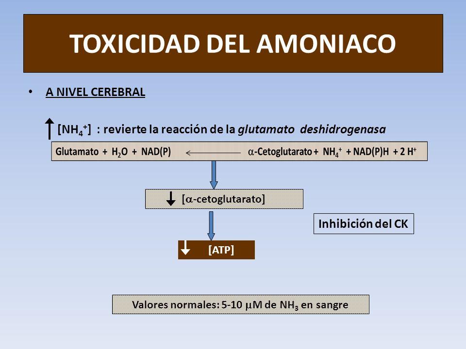 TOXICIDAD DEL AMONIACO A NIVEL CEREBRAL [NH 4 + ] : revierte la reacción de la glutamato deshidrogenasa [ -cetoglutarato] [ATP] Valores normales: 5-10