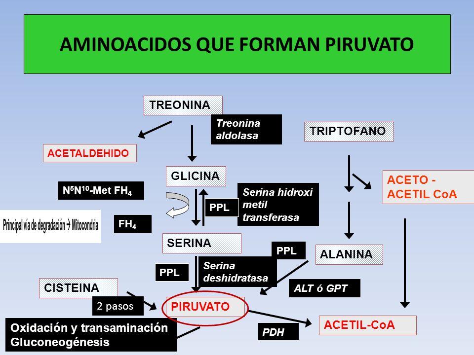 AMINOACIDOS QUE FORMAN PIRUVATO TREONINA TRIPTOFANO ALANINA GLICINA ACETALDEHIDO SERINA CISTEINA PIRUVATO ACETIL-CoA Treonina aldolasa Serina hidroxi