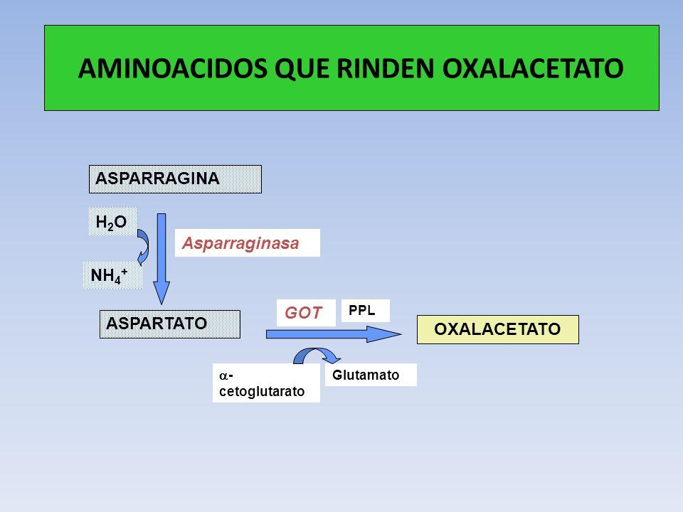 AMINOACIDOS QUE RINDEN OXALACETATO ASPARTATO ASPARRAGINA OXALACETATO Asparraginasa GOT NH 4 + H2OH2O PPL - cetoglutarato Glutamato