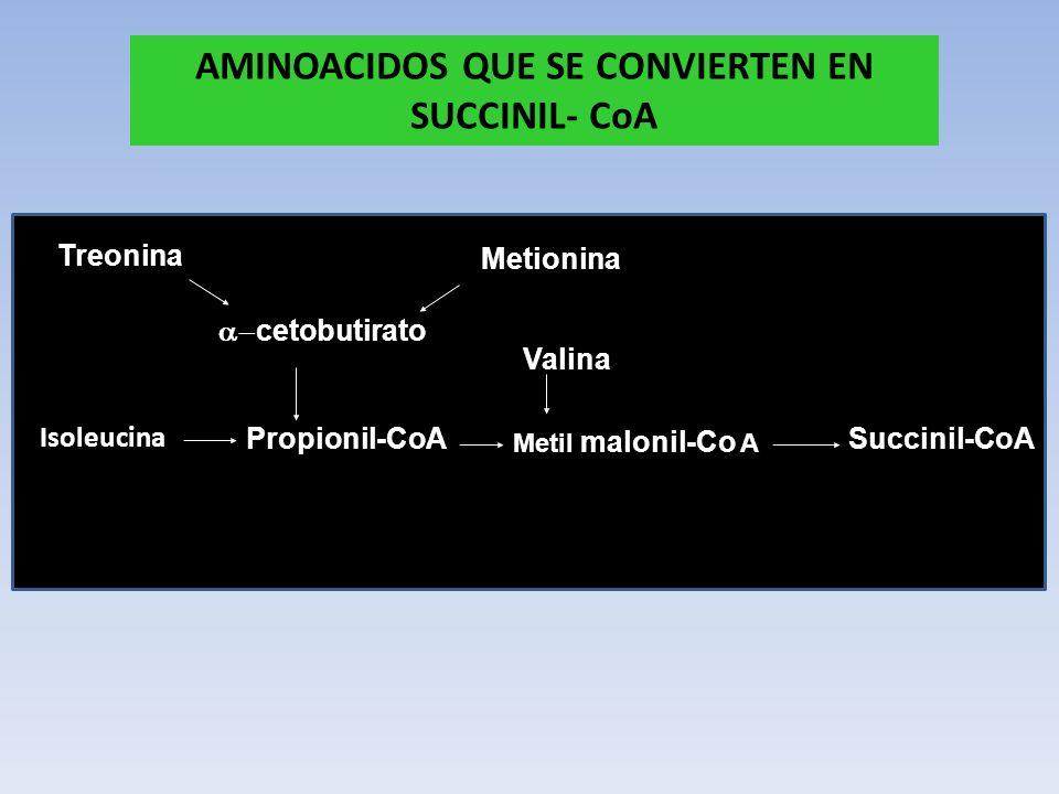 Isoleucina Propionil-CoA Metil malonil-Co A Succinil-CoA Succinil-CoA Valina cetobutirato cetobutirato Treonina Metionina AMINOACIDOS QUE SE CONVIERTE