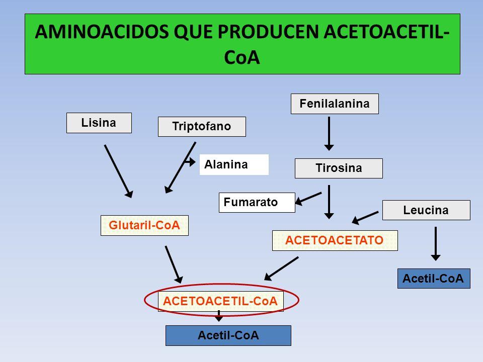 AMINOACIDOS QUE PRODUCEN ACETOACETIL- CoA Lisina Triptofano Fenilalanina Tirosina Leucina Glutaril-CoA ACETOACETIL-CoA Acetil-CoA ACETOACETATO Fumarat