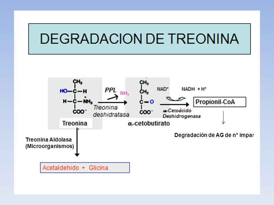 Degradación de AG de n° impar Treonina Aldolasa (Microorganismos)