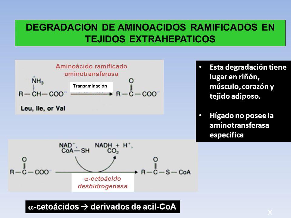 Transaminación -cetoácido deshidrogenasa DEGRADACION DE AMINOACIDOS RAMIFICADOS EN TEJIDOS EXTRAHEPATICOS Aminoácido ramificado aminotransferasa Esta