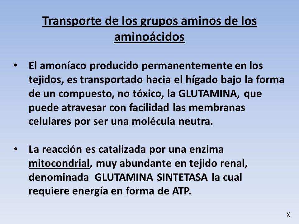 Transporte de los grupos aminos de los aminoácidos El amoníaco producido permanentemente en los tejidos, es transportado hacia el hígado bajo la forma