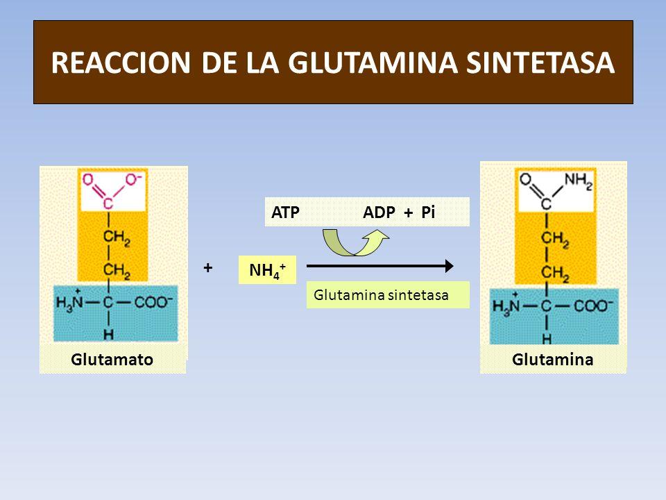 REACCION DE LA GLUTAMINA SINTETASA GlutamatoGlutamina NH 4 + + ATP ADP + Pi Glutamina sintetasa