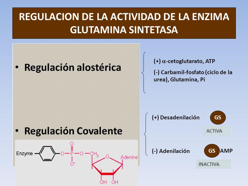 REGULACION DE LA ACTIVIDAD DE LA ENZIMA GLUTAMINA SINTETASA Regulación alostérica Regulación Covalente (+) -cetoglutarato, ATP (-) Carbamil-fosfato (c