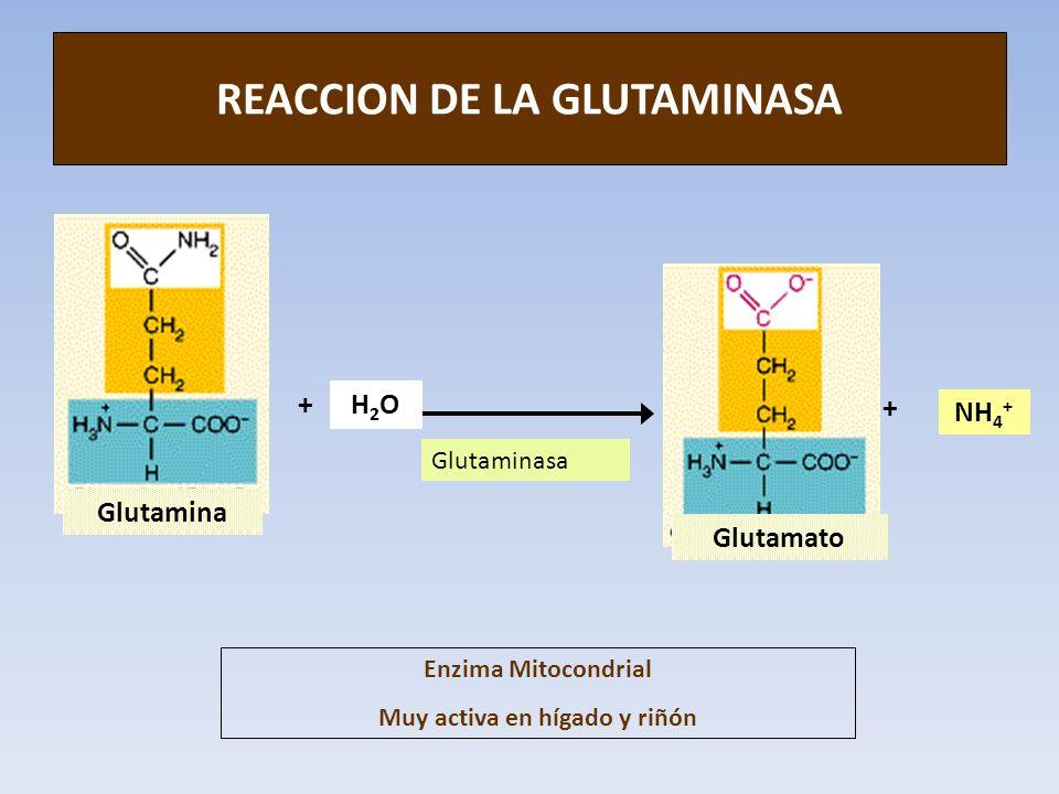 REACCION DE LA GLUTAMINASA Glutamina Glutamato Glutaminasa NH 4 + + + H2OH2O Enzima Mitocondrial Muy activa en hígado y riñón