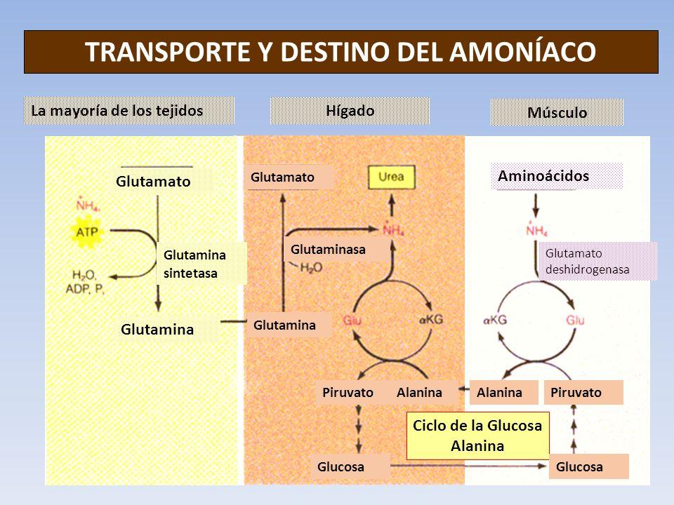 TRANSPORTE Y DESTINO DEL AMONÍACO La mayoría de los tejidos Hígado Músculo Ciclo de la Glucosa Alanina Glutamato Glutamina Glutamina sintetasa Glutama