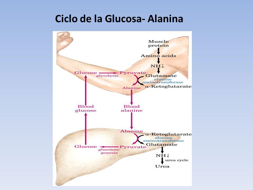 Ciclo de la Glucosa- Alanina