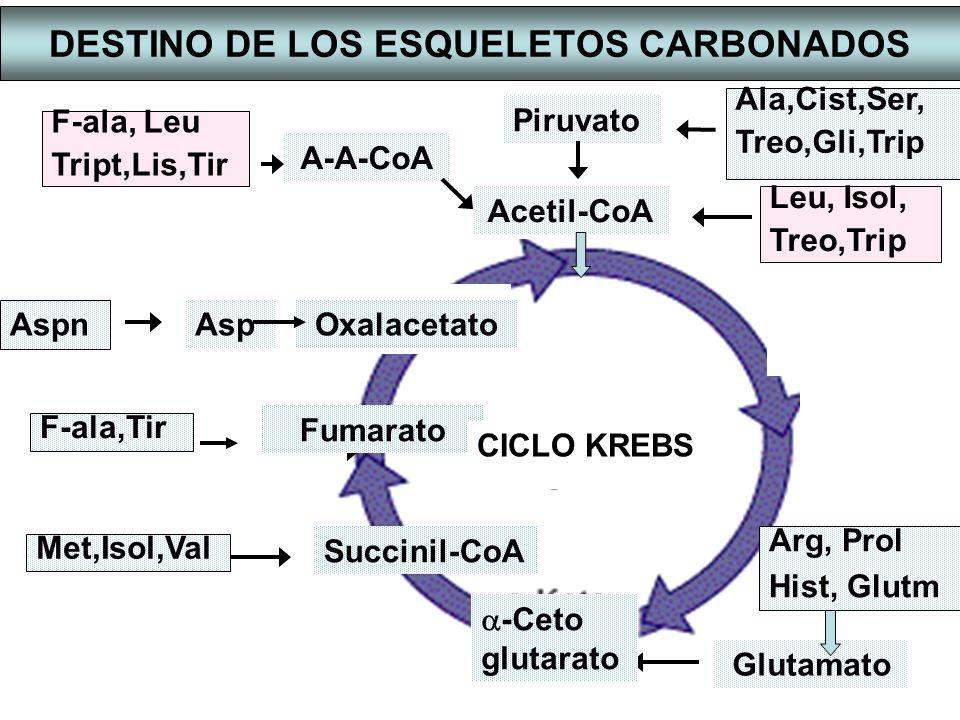 RUTAS DE DEGRADACION DE LOS CARBONOS PROVENIENTES DE AMINOÁCIDOS Se producen 6 productos diferentes: -ACETIL-CoA -PIRUVATO -OXALACETATO -CETOGLUTARATO -SUCCINIL-CoA -FUMARATO GLUCONEOGENESIS TODOS LOS CARBONOS DE LOS AMINOÁCIDOS PUEDEN DEGRADARSE A CO 2 EN EL CICLO DE KREBS