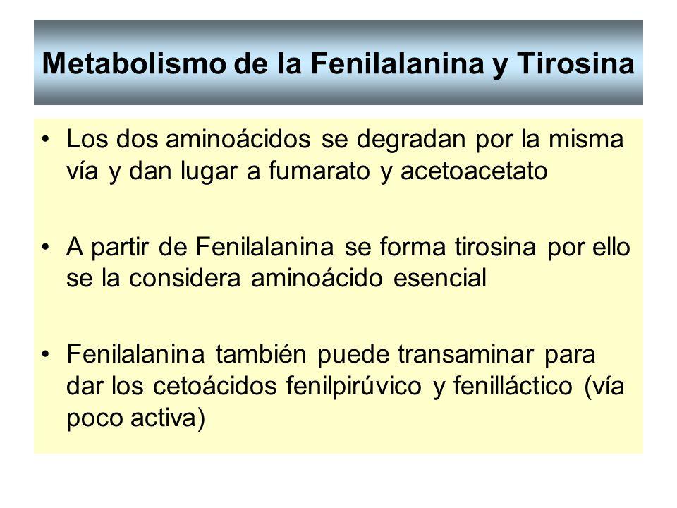 Metabolismo de la Fenilalanina y Tirosina Los dos aminoácidos se degradan por la misma vía y dan lugar a fumarato y acetoacetato A partir de Fenilalan