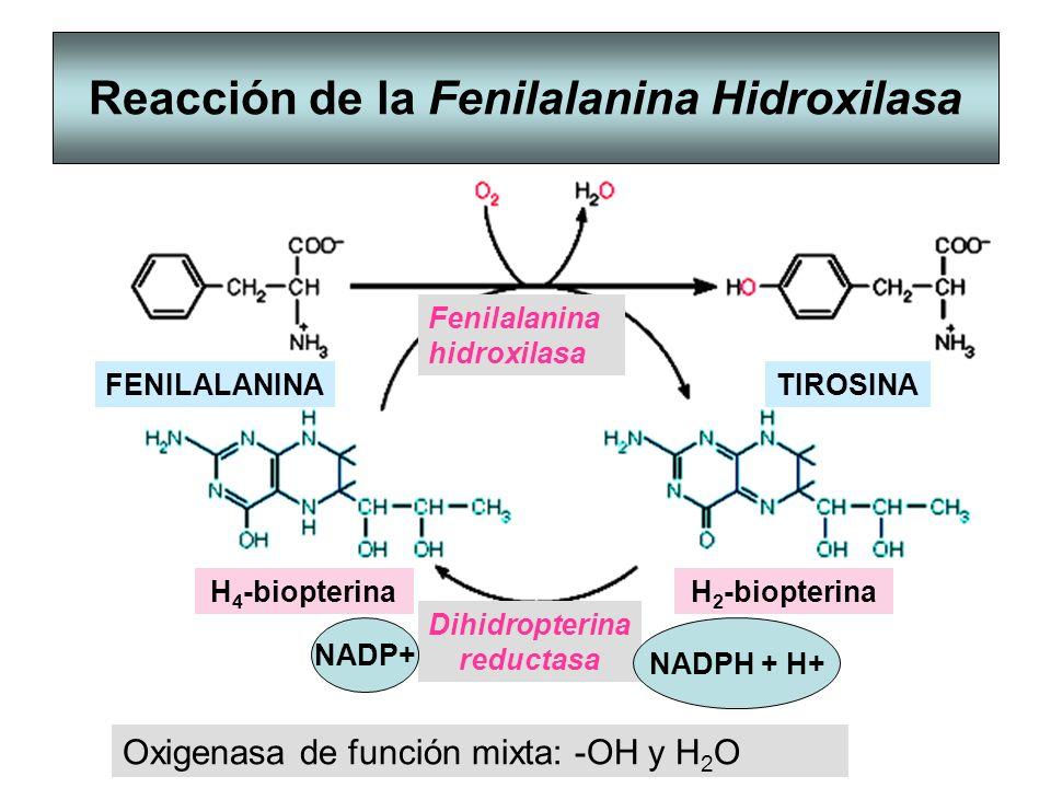 Reacción de la Fenilalanina Hidroxilasa Fenilalanina hidroxilasa Dihidropterina reductasa Oxigenasa de función mixta: -OH y H 2 O NADPH + H+ FENILALAN