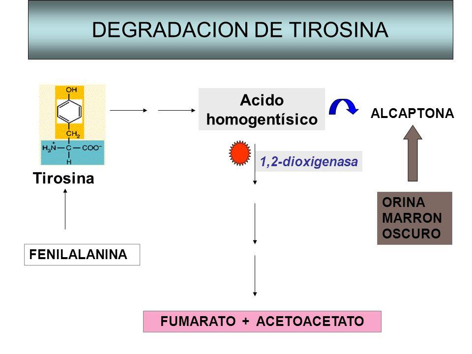 DEGRADACION DE TIROSINA Tirosina Acido homogentísico 1,2-dioxigenasa ALCAPTONA ORINA MARRON OSCURO FENILALANINA FUMARATO + ACETOACETATO