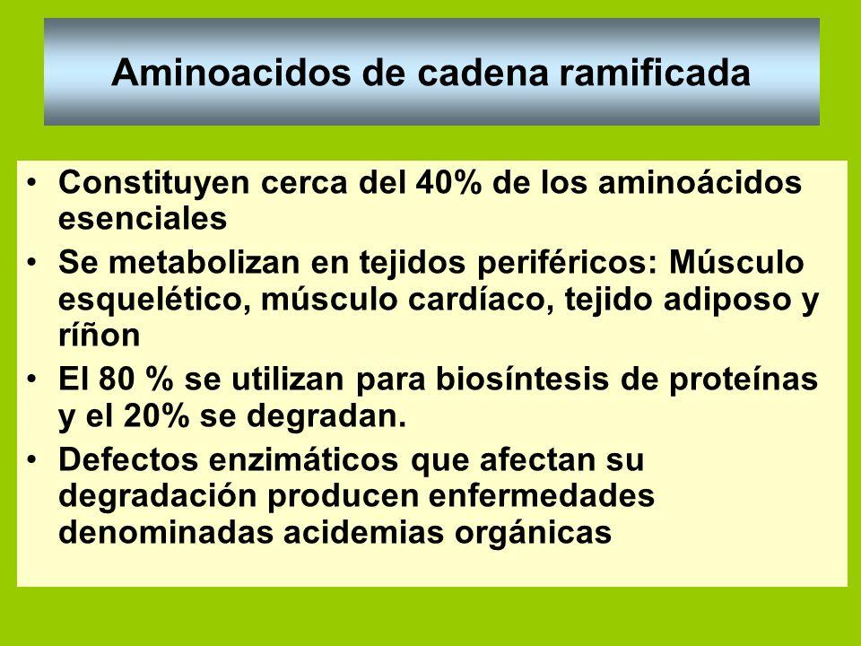 Aminoacidos de cadena ramificada Constituyen cerca del 40% de los aminoácidos esenciales Se metabolizan en tejidos periféricos: Músculo esquelético, m
