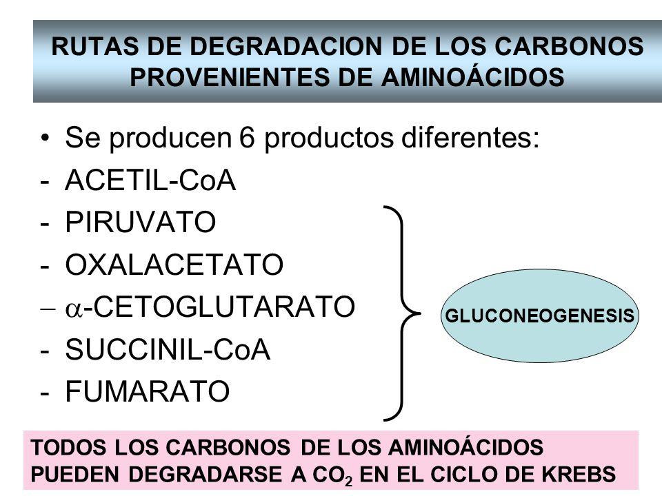Algunos aminoácidos cuando que se degradan dan más de un producto: TREONINA TRIPTOFANO FENILALANINA TIROSINA ISOLEUCINA Acetoacetil-CoA y Fumarato Piruvato, Acetil-CoA, Acetoacetil-CoA Acetil-CoA, Succinil-CoA Piruvato, Acetil-CoA, Succinil-CoA