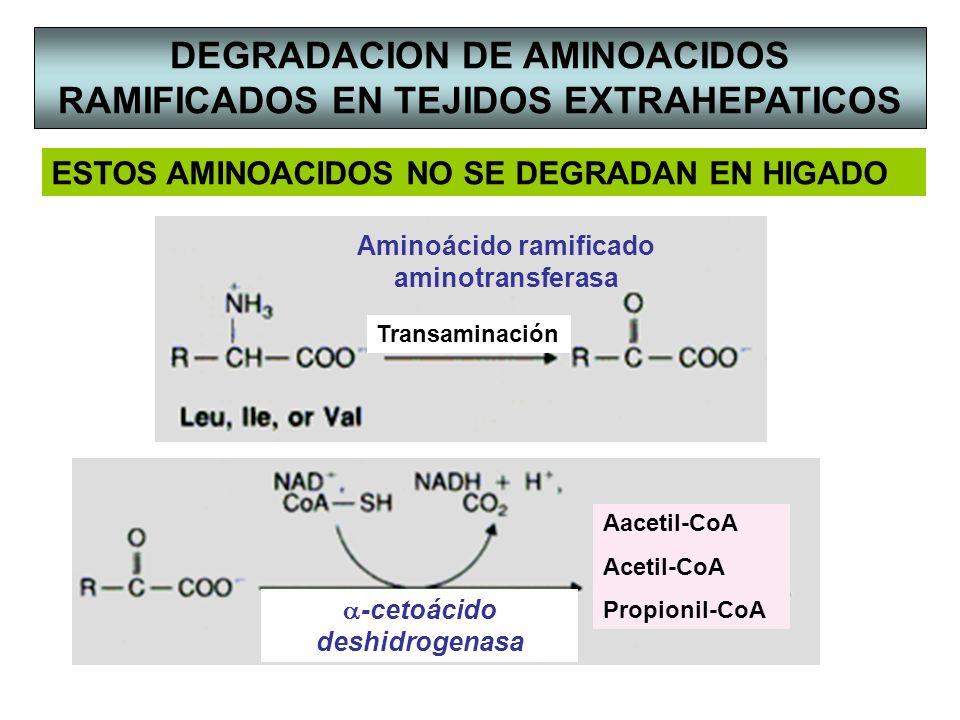 -cetoácido deshidrogenasa DEGRADACION DE AMINOACIDOS RAMIFICADOS EN TEJIDOS EXTRAHEPATICOS Transaminación Aminoácido ramificado aminotransferasa ESTOS