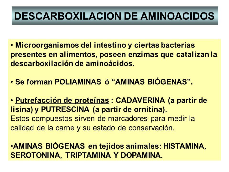 Microorganismos del intestino y ciertas bacterias presentes en alimentos, poseen enzimas que catalizan la descarboxilación de aminoácidos. Se forman P