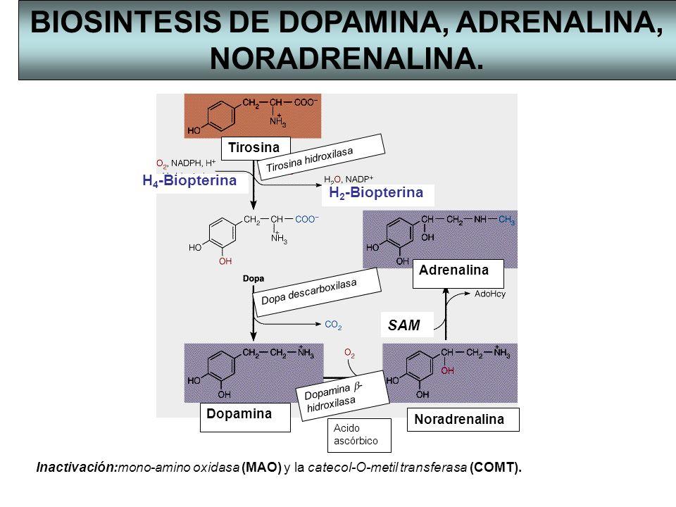 Tirosina hidroxilasa Dopa descarboxilasa Adrenalina Noradrenalina Dopamina Dopamina - hidroxilasa Acido ascórbico BIOSINTESIS DE DOPAMINA, ADRENALINA,