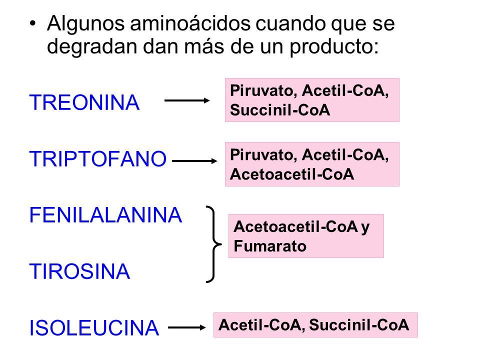 Algunos aminoácidos cuando que se degradan dan más de un producto: TREONINA TRIPTOFANO FENILALANINA TIROSINA ISOLEUCINA Acetoacetil-CoA y Fumarato Pir