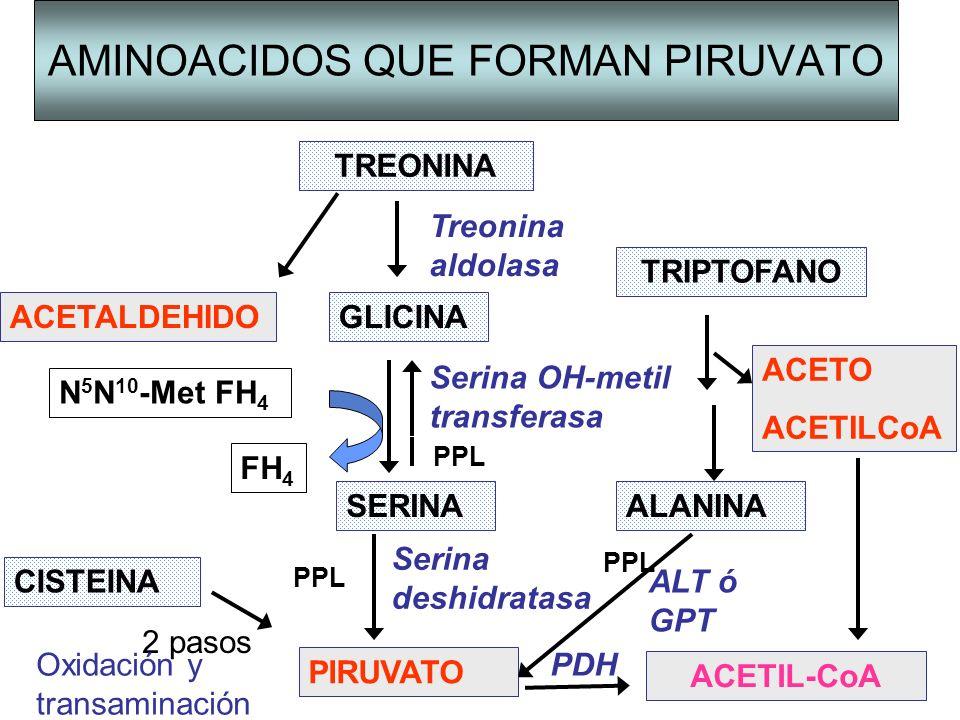 Serina deshidratasa AMINOACIDOS QUE FORMAN PIRUVATO TREONINA TRIPTOFANO ALANINA GLICINAACETALDEHIDO SERINA CISTEINA PIRUVATO ACETIL-CoA Treonina aldol