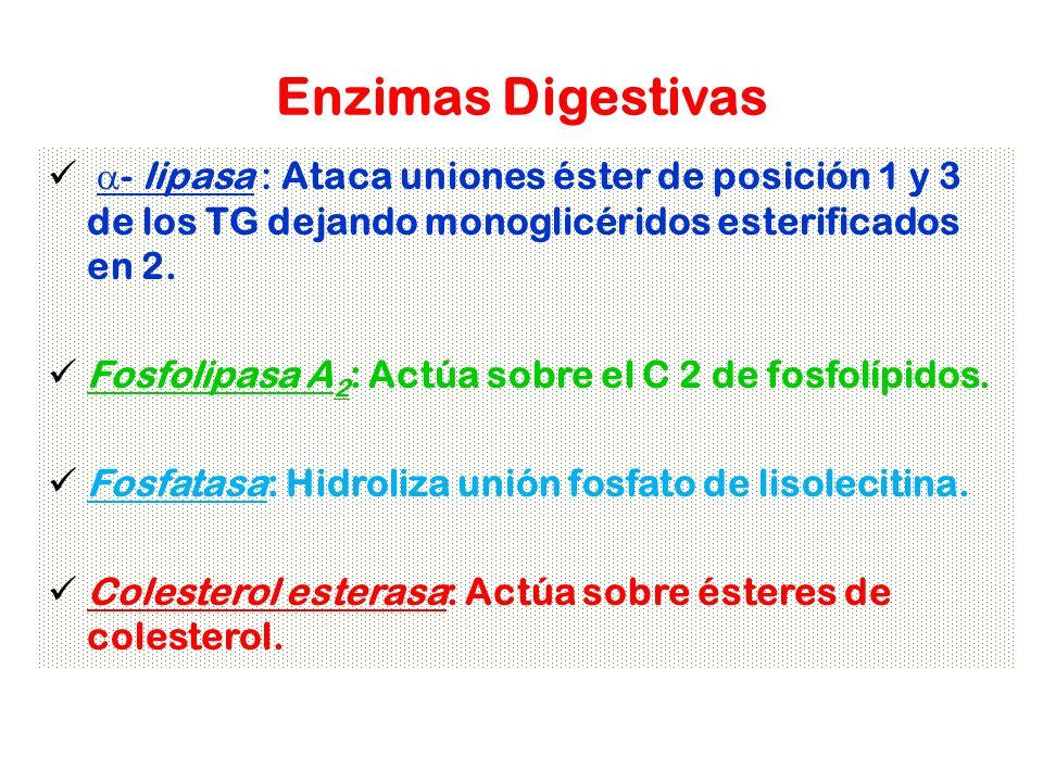 Enzimas Digestivas - lipasa : Ataca uniones éster de posición 1 y 3 de los TG dejando monoglicéridos esterificados en 2. Fosfolipasa A 2 : Actúa sobre