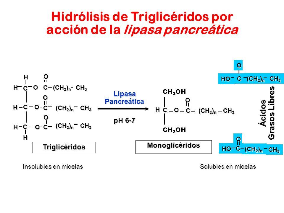Ácidos Grasos Libres HO C (CH 2 ) n O CH 3 Hidrólisis de Triglicéridos por acción de la lipasa pancreática Solubles en micelas Insolubles en micelas M