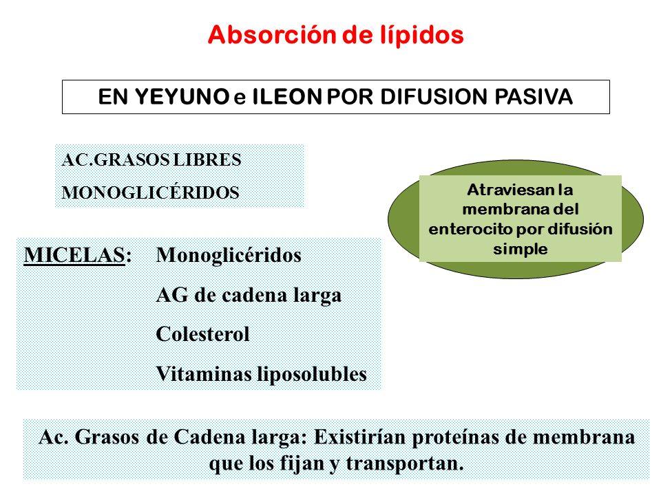 Absorción de lípidos AC.GRASOS LIBRES MONOGLICÉRIDOS Atraviesan la membrana del enterocito por difusión simple EN YEYUNO e ILEON POR DIFUSION PASIVA A
