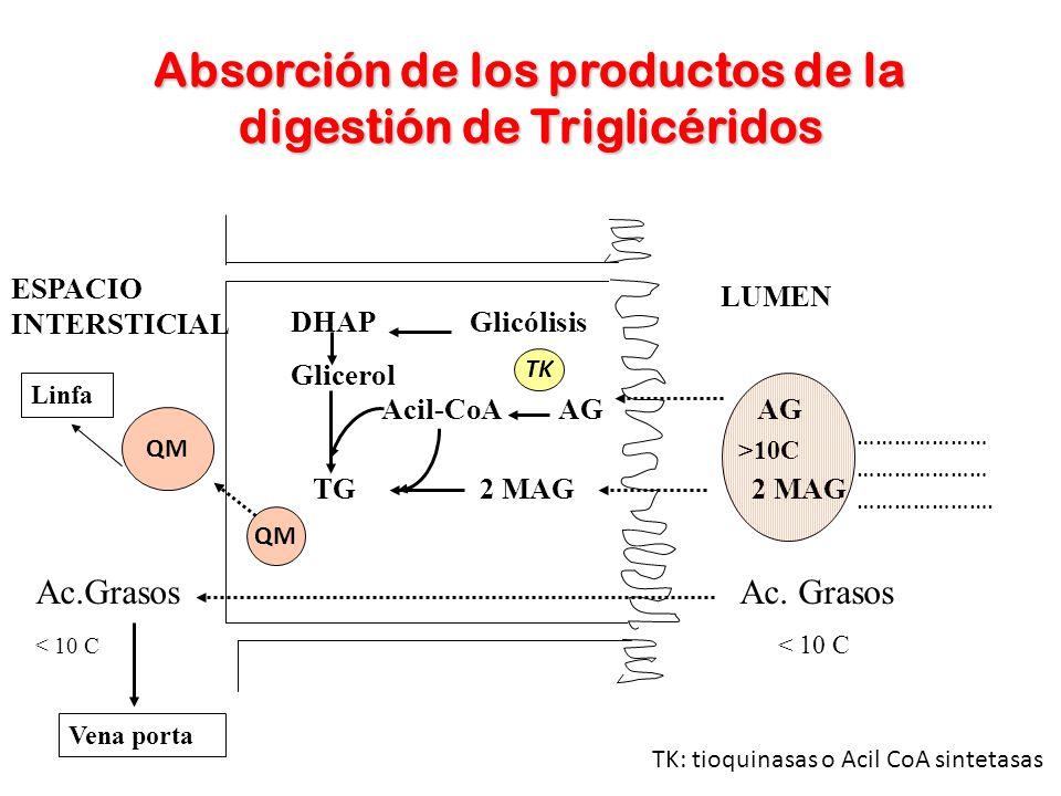 Absorción de los productos de la digestión de Triglicéridos ESPACIO INTERSTICIAL LUMEN DHAP Glicólisis Glicerol QM Ac.Grasos Ac. Grasos < 10 C Vena po