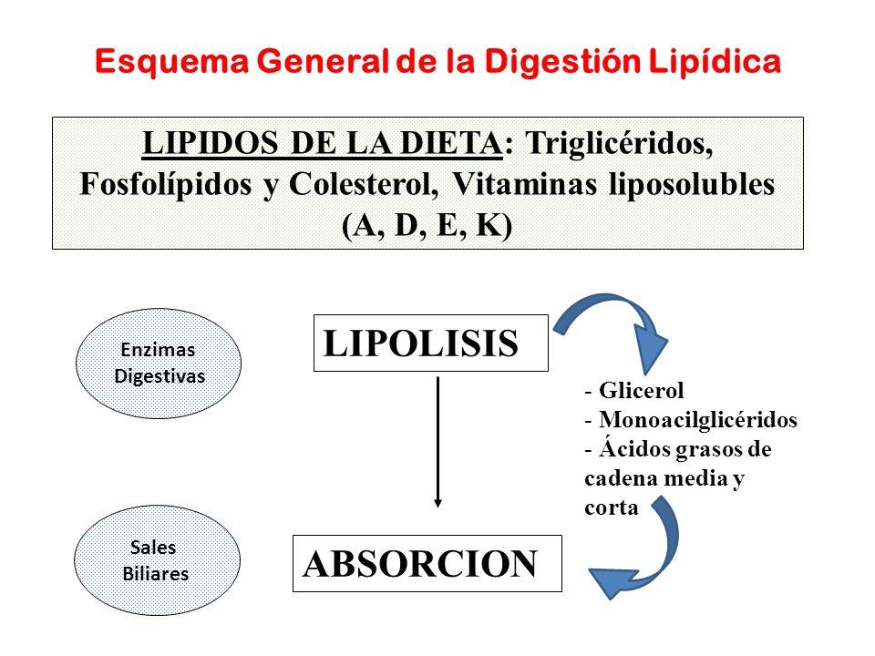 Esquema General de la Digestión Lipídica LIPIDOS DE LA DIETA: Triglicéridos, Fosfolípidos y Colesterol, Vitaminas liposolubles (A, D, E, K) LIPOLISIS
