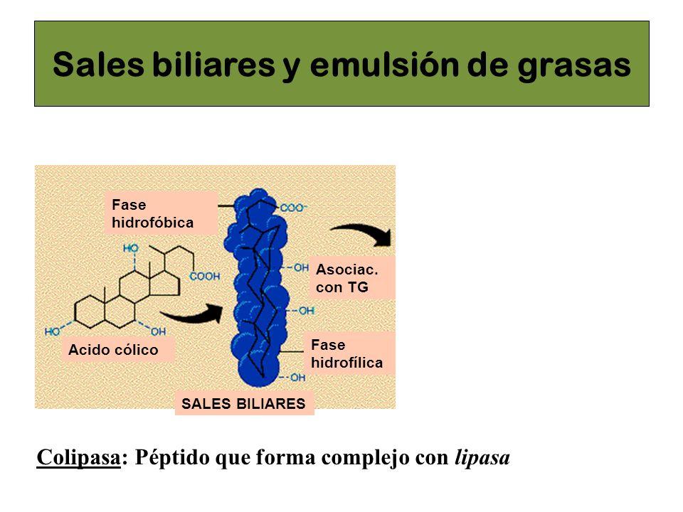 Acido cólico Fase hidrofóbica Fase hidrofílica Asociac. con TG SALES BILIARESMICELAS Sales biliares Lipasa pancreática Triacilglicerol Digestión lipas