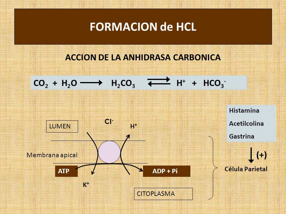FORMACION de HCL ACCION DE LA ANHIDRASA CARBONICA CO 2 + H 2 O H 2 CO 3 H + + HCO 3 - LUMEN CITOPLASMA K+K+ H+H+ ATP ADP + Pi Membrana apical Célula Parietal Histamina Acetilcolina Gastrina (+) Cl -