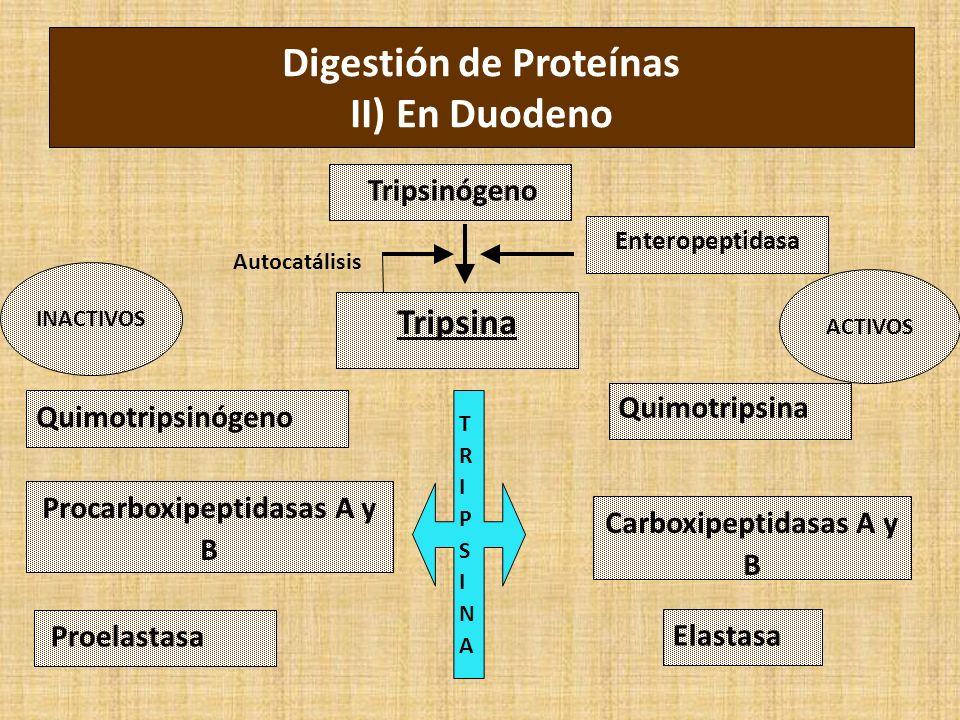 Digestión de Proteínas II) En Duodeno Tripsinógeno Tripsina Quimotripsinógeno Procarboxipeptidasas A y B Enteropeptidasa Proelastasa Quimotripsina Carboxipeptidasas A y B Elastasa TRIPSINATRIPSINA INACTIVOS ACTIVOS Autocatálisis