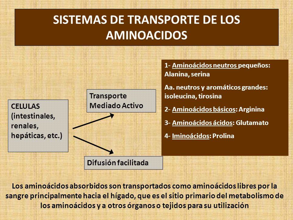 SISTEMAS DE TRANSPORTE DE LOS AMINOACIDOS CELULAS (intestinales, renales, hepáticas, etc.) Transporte Mediado Activo Difusión facilitada 1- Aminoácidos neutros pequeños: Alanina, serina Aa.